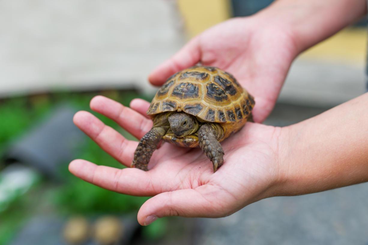 Pet Turtle May Make Your Child Sick Columbian Com
