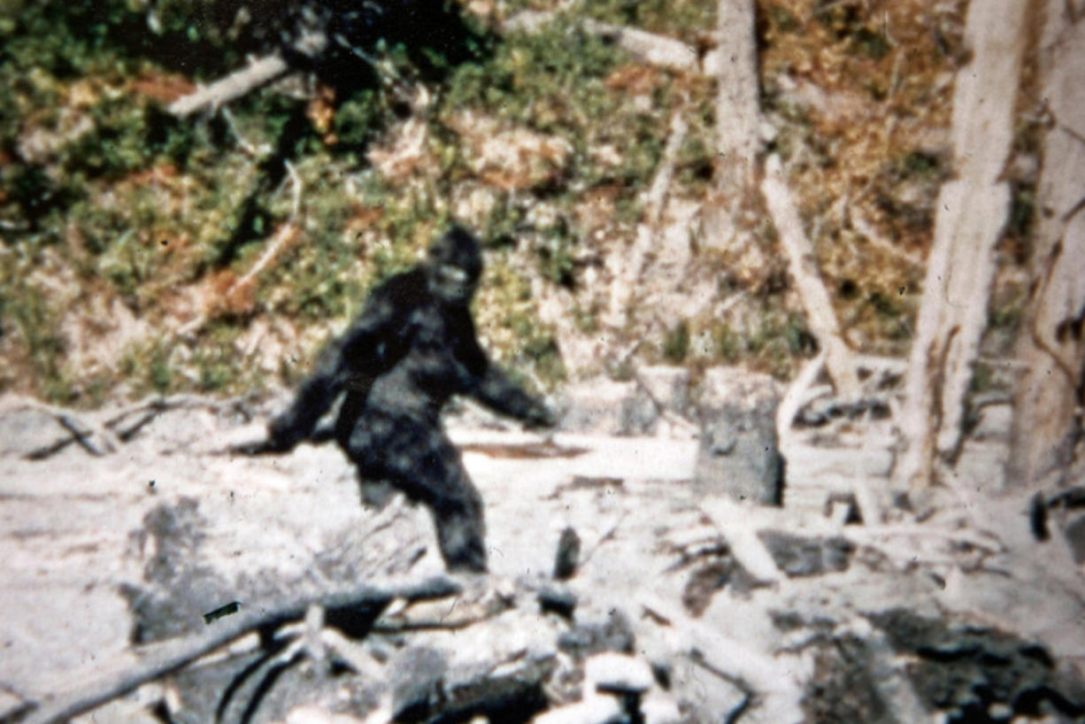 It's fuzzy. It's blurry. It's weird and alarming. But the so-called Patterson-Gimlin film fragment from 1967, which purports to show Bigfoot ambling off into the Northern California woods, has never been debunked. Contributed photo