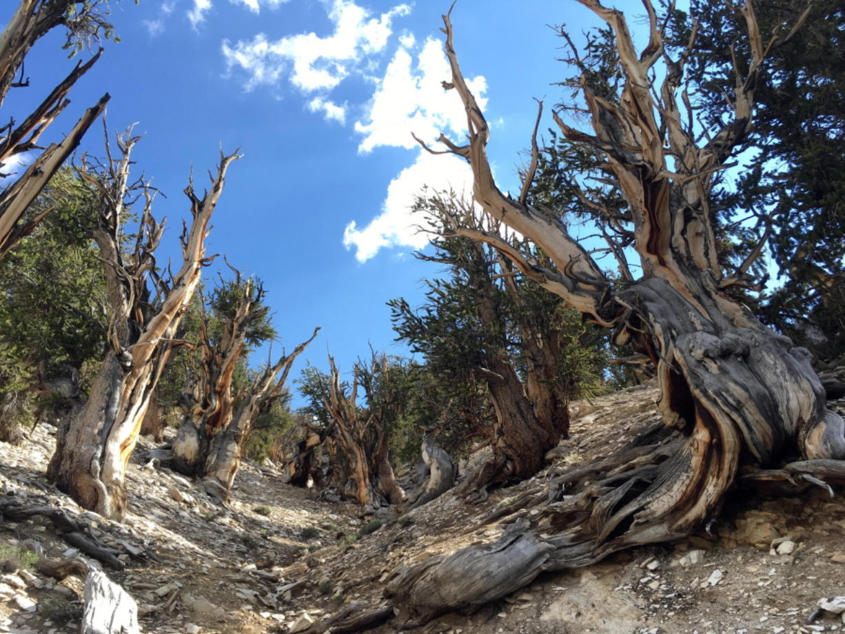 This July 11, 2017, photo shows gnarled, bristlecone pine trees in the White Mountains in east of Bishop, Calif. Limber pine is beginning to colonize areas of the Great Basin once dominated by bristlecones. The bristlecone pine, a wind-beaten tree famous for its gnarly limbs and having the longest lifespan on Earth, is losing a race to the top of mountains throughout the Western United States, putting future generations in peril, researchers said Wednesday, Sept. 13. (AP Photo/Scott Smith)