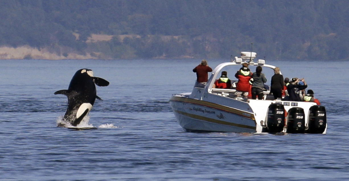 An orca leaps out of the water in 2015 near a whale watching boat in the Salish Sea near the San Juan Islands. Ships passing the narrow busy channel off the San Juan Islands are slowing down this summer as part of an experiment to protect the small endangered population of southern resident killer whales.