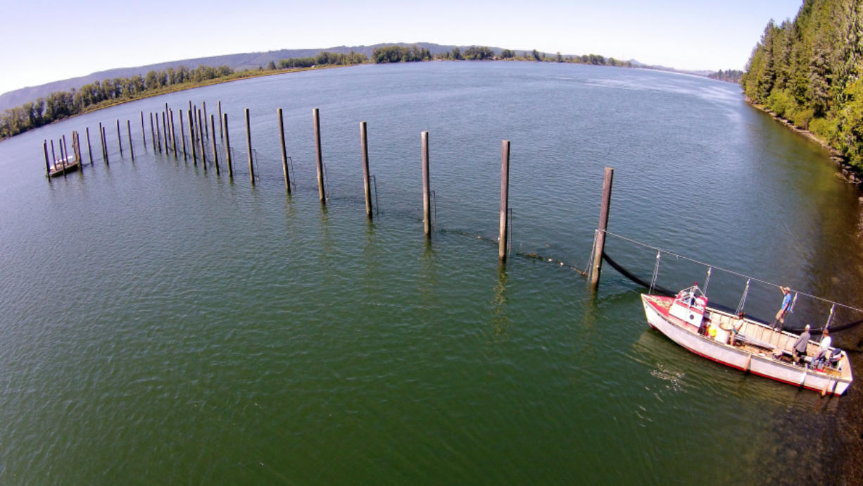 An experimental salmon trap extends from the shore of the Columbia River near Cathlamet. Salmon are directed into the trap by nets strung perpendicular to the riverbank. Historically these lead nets would extend up to a mile into the river. Photos by Aaron Jorgenson/Wild Fish Conservancy