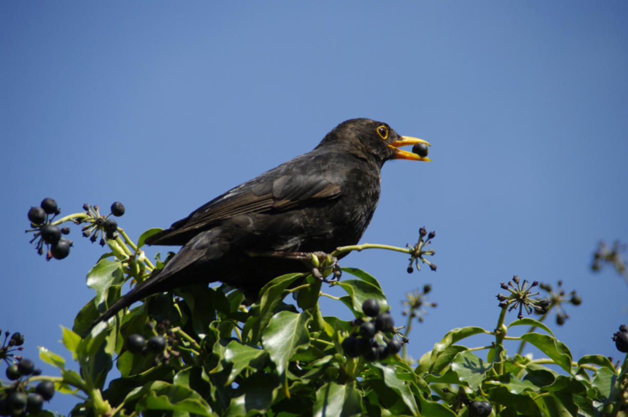 A Dutch firm has produced a special laser that imitates predators to scare off birds that eat crops.