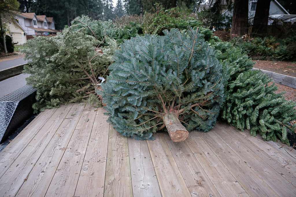 A trailer full of discarded Christmas trees are picked up by Boy Scouts for recycling in
