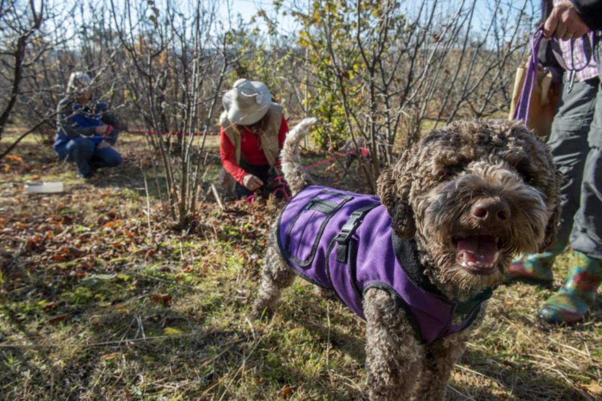Truffle dogs train to find buried treasure - Columbian com