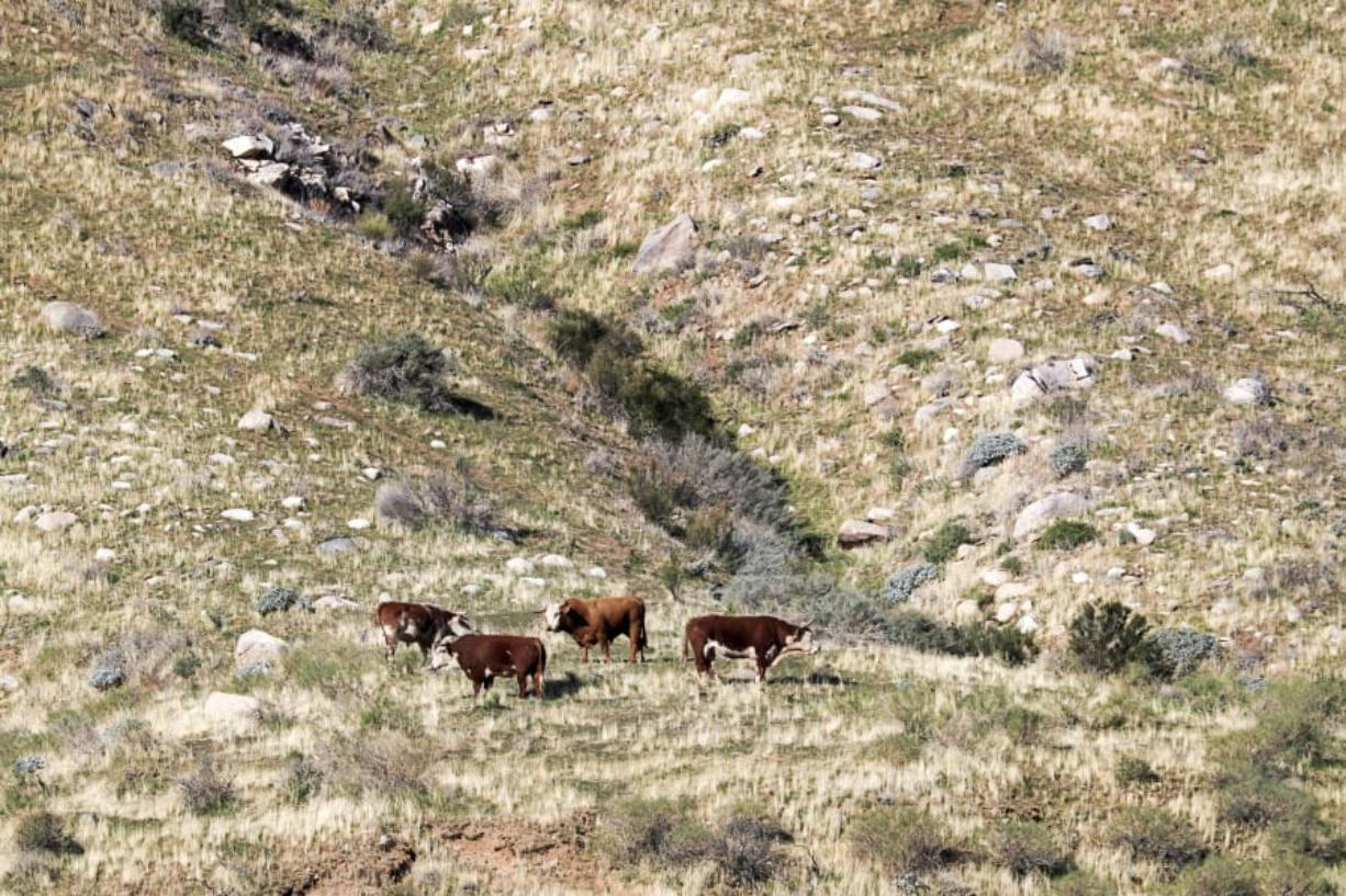 An estimated 150 unbranded feral bulls and cows live in the new Sand to Snow National Monument near Palm Springs, Calif.