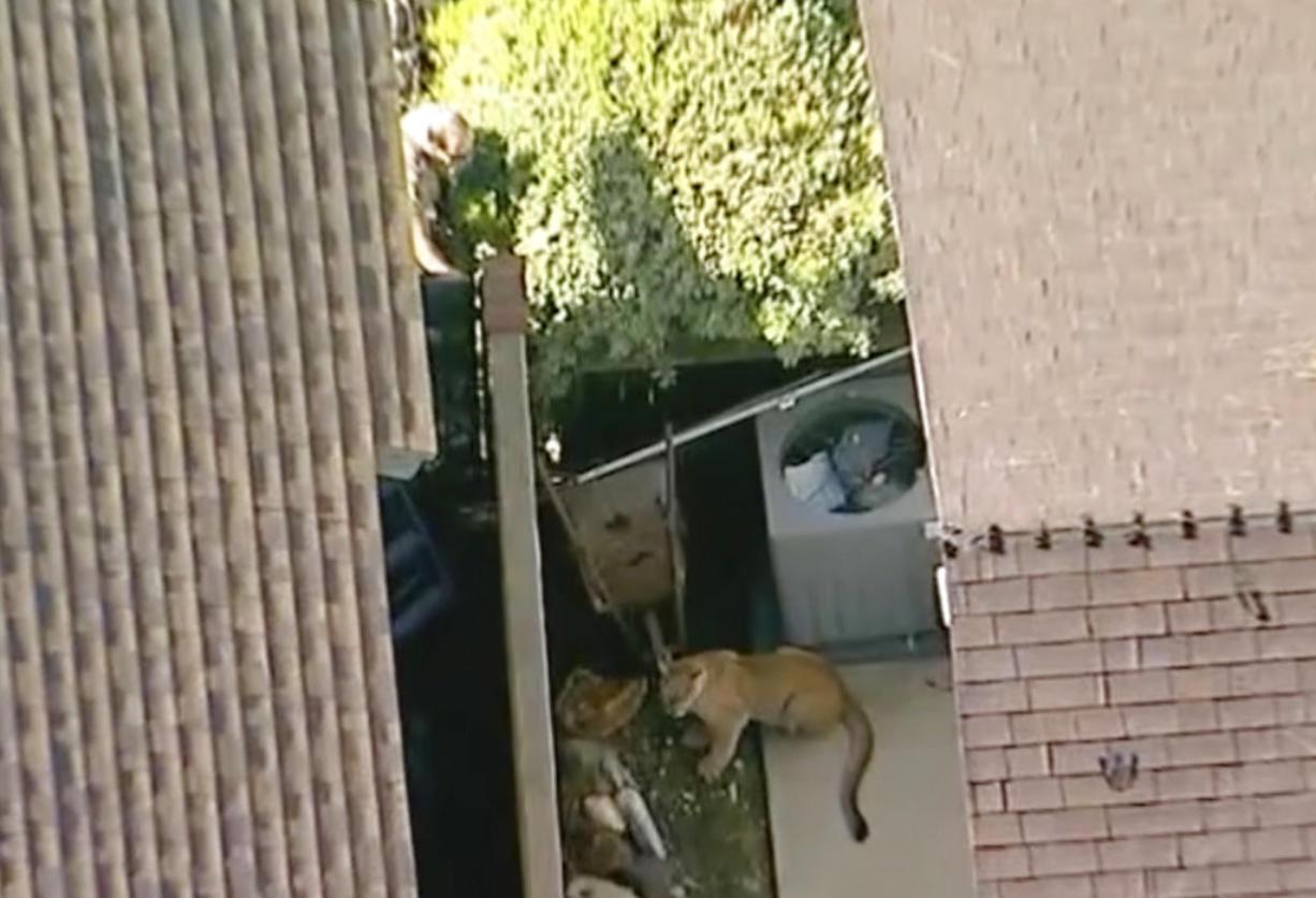 Cat-and-mouse game: Mountain lion roams California backyards