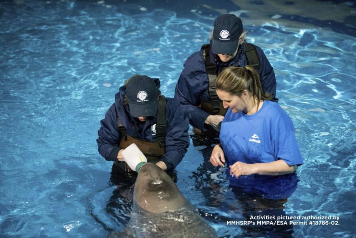 Lisa Hartmann, from left, and Dr. Carrie Goertz, Alaska SeaLife Center, and Katie Kolodziej, SeaWorld San Antonio, bottle feed Tyonek as he acclimates to his new home at SeaWorld San Antonio, Texas on Friday, March 9, 2018. The 5-month-old whale named Tyonek made a 4,000-mile journey to SeaWorld San Antonio on Thursday. Tyonek was less than a month old when he became stranded in Alaska's Cook Inlet last fall.