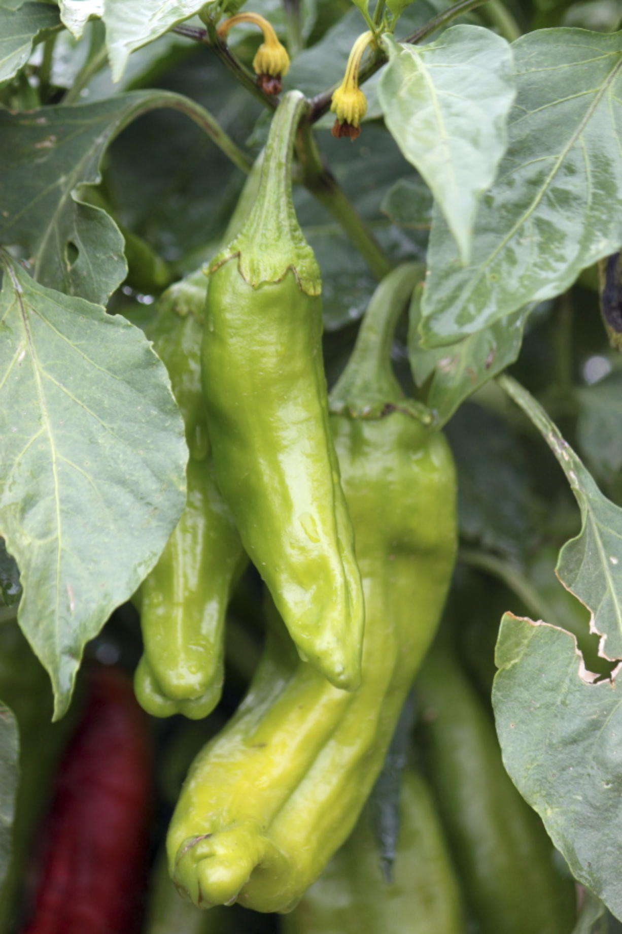Green chilies grow in a research plot at New Mexico State University's agricultural science center in Los Lunas, N.M.