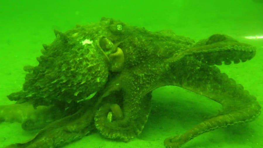 alaska facility gets 3rd shot at raising baby octopuses the columbian