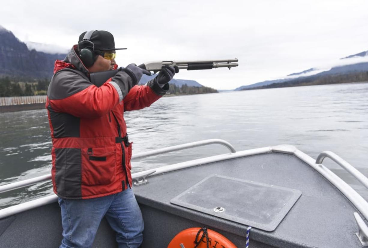 Ted Walsey, fishery technician for the Columbia River Inter-Tribal Fish Commission, fires a cracker shell toward a sea lion Wednesday during a hazing run on the Columbia River below the Bonneville Dam. Workers use the shells to push sea lions downstream, away from migratory salmon. The commission supports a bill by U.S. Rep. Jaime Herrera Beutler that would make it easier to kill nuisance sea lions. At top, a sea lion swims away from the Bonneville Dam on Wednesday.