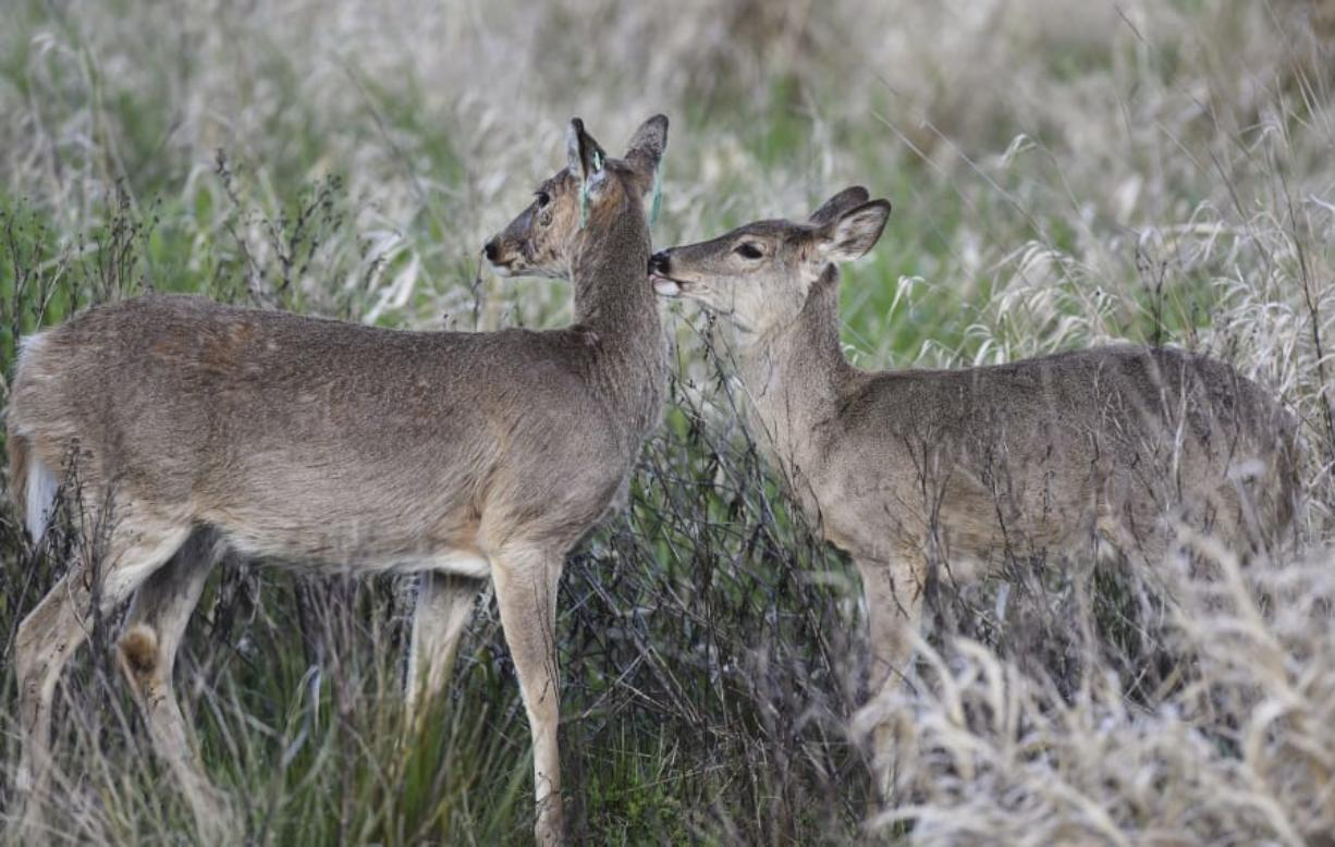 A Columbian white-tailed deer with translocation tags, left, is greeted by her fawn in the Ridgefield Wildlife Refuge. The deer were brought to Ridgefield starting in 2013, and have inadvertently caused a delay in the Port of Ridgefield's overpass project, as the port has to reopen its environmental impact study to look into the project's effect on the growing deer population.