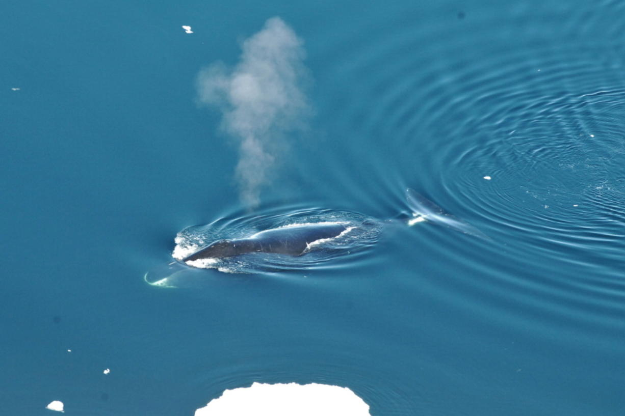 A bowhead whale is seen in June 2017 in the Fram Strait between Greenland and Svalbard. In a study released in the April 4 edition of Biology Letters, scientists have eavesdropped year-round on the songs of bowhead whales which roam the Arctic under the ice, and have found they are more prolific and jazzier than other whales. Kit M.