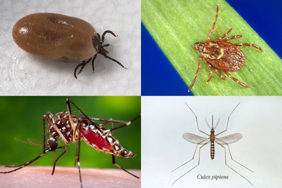 Clockwise from top left: The deer tick, which transmits Lyme disease; the American dog tick, which transmits Rocky Mountain spotted fever and tularemia; the Culex pipiens mosquito, which transmits West Nile virus; and the Aedes aegypti mosquito, which transmits Zika and more.