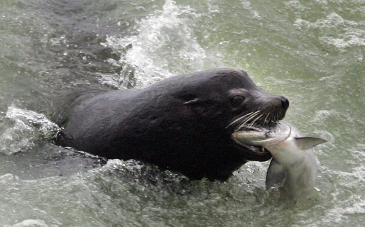 A sea lion catches a salmon on the Columbia River just below the spillway at Bonneville Dam. (Associated Press files)