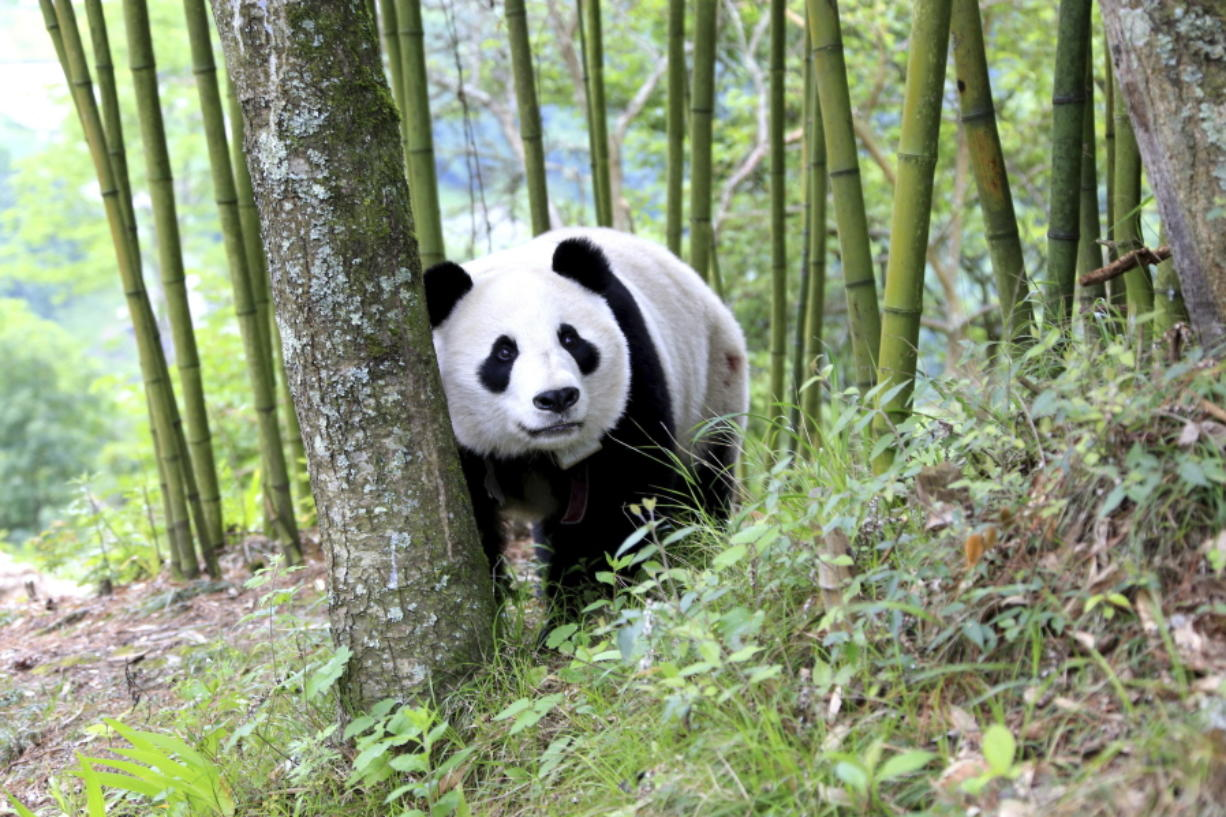 Habitat preservation pays off for giant ...