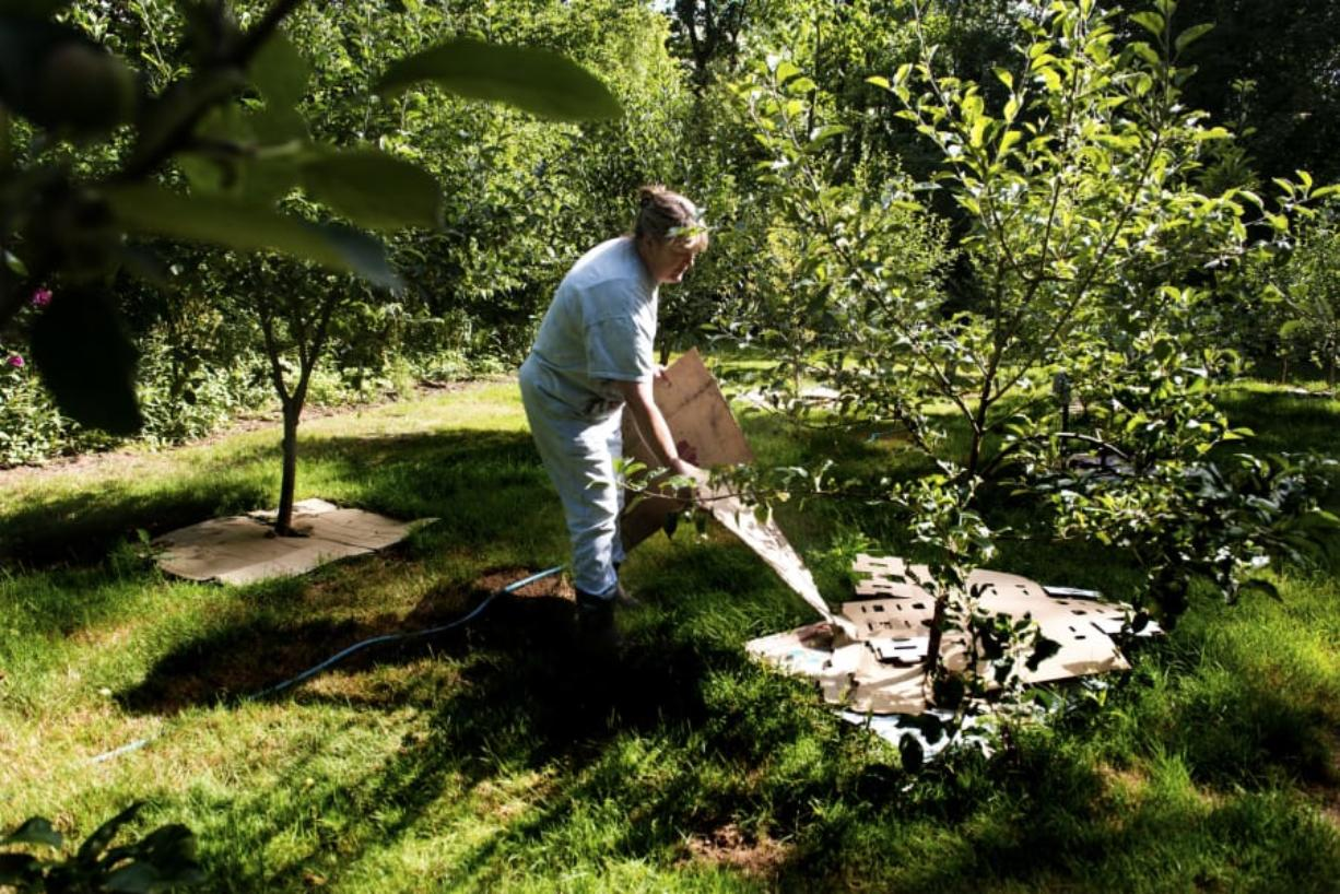Brenda Calvert, co-owner of Half Moon Farm, lays material at the heritage apple orchard to collect moisture around the trees. Calvert estimates she's purchased around 300 plants from the Clark Conservation District in the last few years.