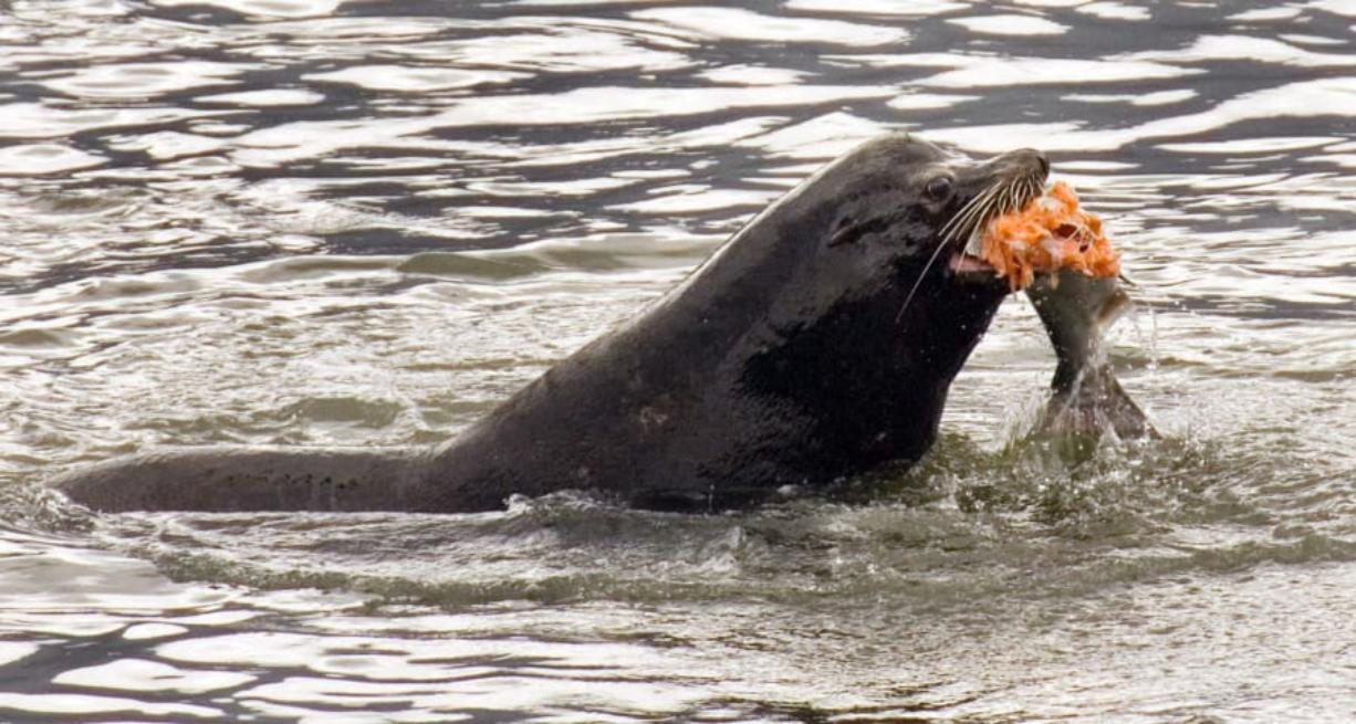 A sea lion eats a salmon in the Columbia River near Bonneville Dam on April 24, 2008, in North Bonneville. A bill that would make it easier to kill sea lions that gobble endangered salmon in the Columbia River has cleared a key committee in the U.S. Senate. The measure allows the federal government to issue permits to Washington, Idaho and Oregon, and several Pacific Northwest tribes, allowing up to 100 sea lions to be killed a year.