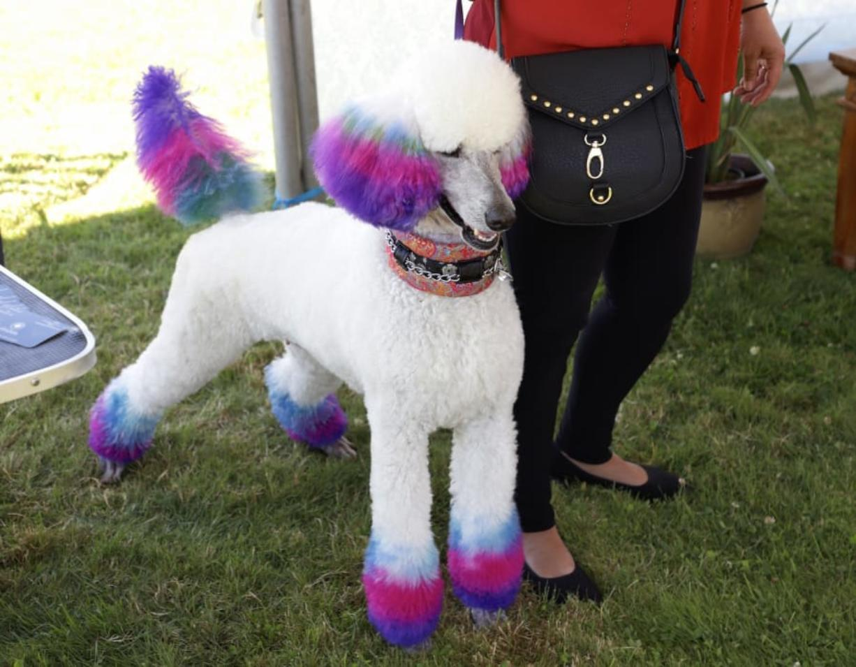 Ridgefield Poodle Party Fun For Dogs Owners Columbiancom