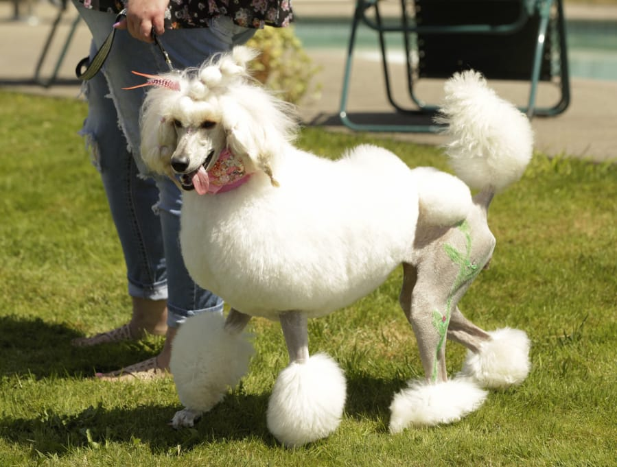ridgefield poodle party fun for dogs owners the columbian