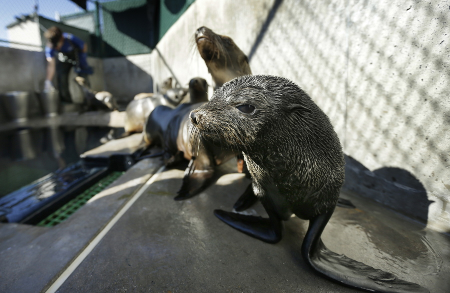 """FILE - In this Tuesday, Feb. 26, 2013 file photo, a Guadalupe fur seal, foreground, passes by as SeaWorld animal rescue team member Heather Ruce feeds a California sea lion at a rescue facility in San Diego, with rescue crews seeing a higher than average amount of stranded sea lions. Marine biologists nicknamed a patch of persistent high temperatures in the Pacific Ocean between 2013 and 2016 """"the Blob."""" During that period, decreased phytoplankton production led to a """"lack of food for many species,"""" from fish to marine mammals."""