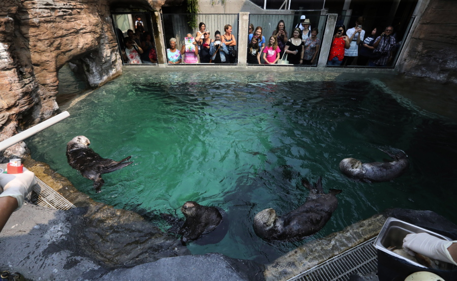 The Seattle Aquarium's four sea otters gather for a feeding on Wednesday with an audience. Mishka, the asthmatic otter, is second from left. (Alan Berner/The Seattle Times)
