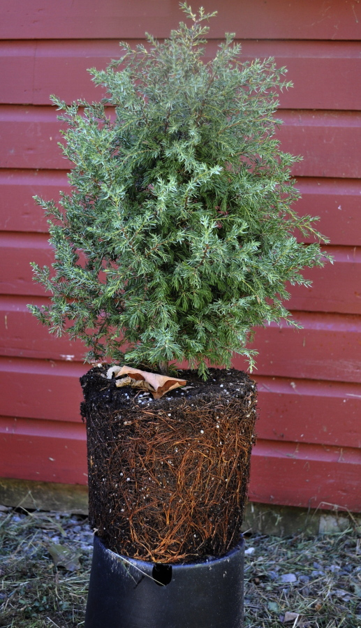 A Good Nursery Tree Such This Cedar That Has Been Removed From Its Pot