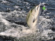A chinook salmon is hooked near Brookings, Ore. Canada and several U.S. states would reduce their catch of endangered chinook salmon in years with poor fishery returns under an agreement between the U.S. and Canada.