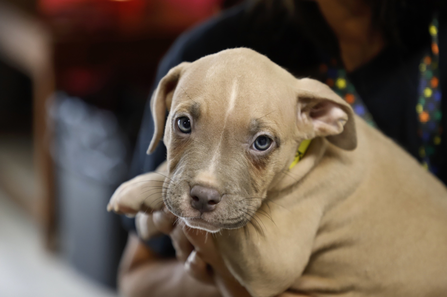 A Pit Bull Mix Puppy Is Held At Mostly Mutts Animal Rescue Steve Dipaola