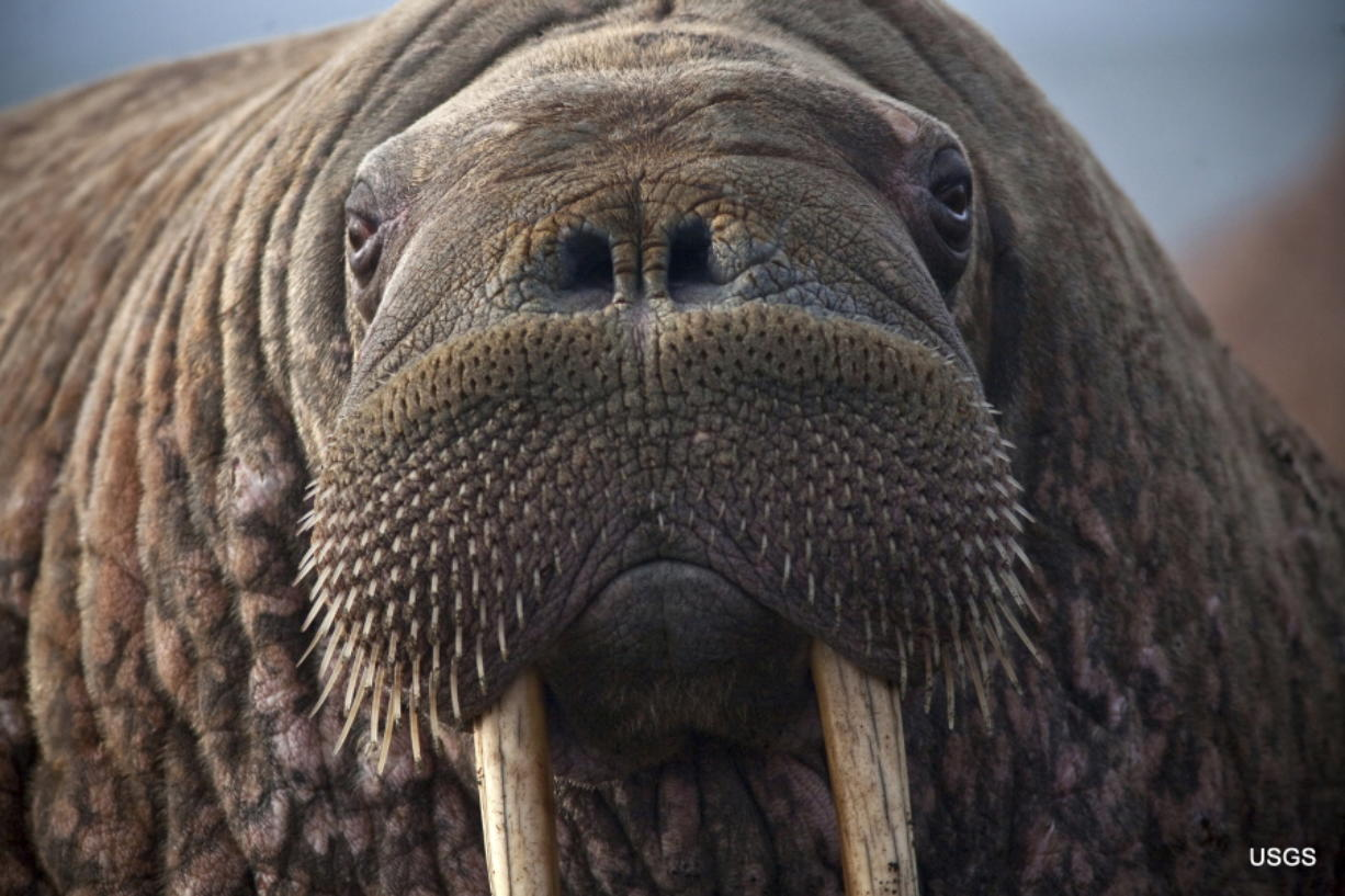 This photo provided by the United States Geological Survey shows a female Pacific walrus resting, Sept. 19, 2013 in Point Lay, Alaska. A lawsuit making its way through federal court in Alaska will decide whether Pacific walruses should be listed as a threatened species, giving them additional protections. Walruses use sea ice for giving birth, nursing and resting between dives for food but the amount of ice over several decades has steadily declined due to climate warming. (Ryan Kingsbery/U.S.