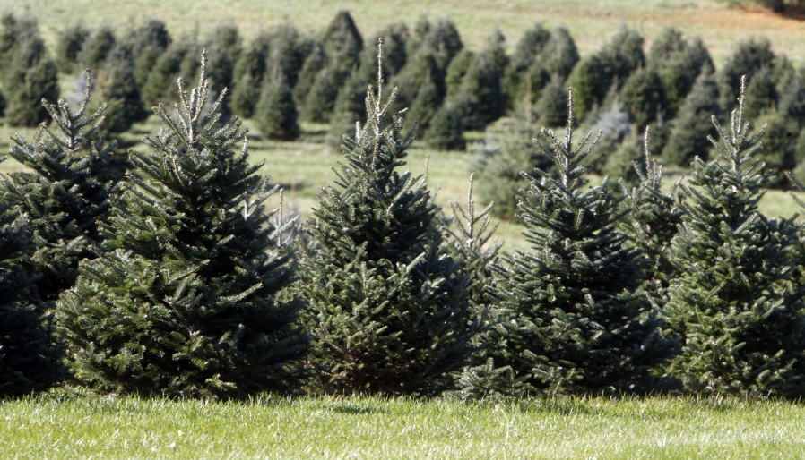 Christmas trees stand in a field at the Pleasant Valley Tree Farm in  Bennington, Vt - Experts Say Your Perfect Tree Is Out There, But You May Have To Look
