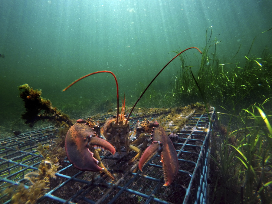 A lobster walks over the top of a lobster trap in September off the coast of 55ef9d93269d