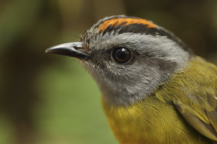 mountain birds are on escalator to extinction the columbian