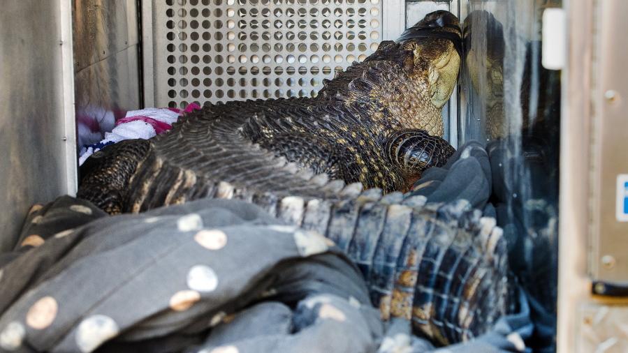Surprise Large Alligator Found In Kansas City Hot Tub The Columbian
