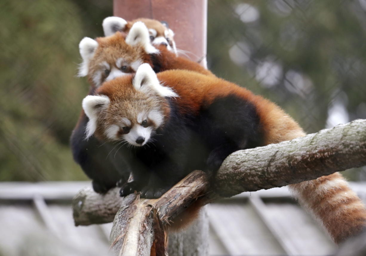 Twin red panda cubs Zeya, front, and her sister Ila, center, look out from a perch in their temporary outdoor enclosure with mom Hazel during a media preview of the animals Nov. 14 at the Woodland Park Zoo in Seattle.