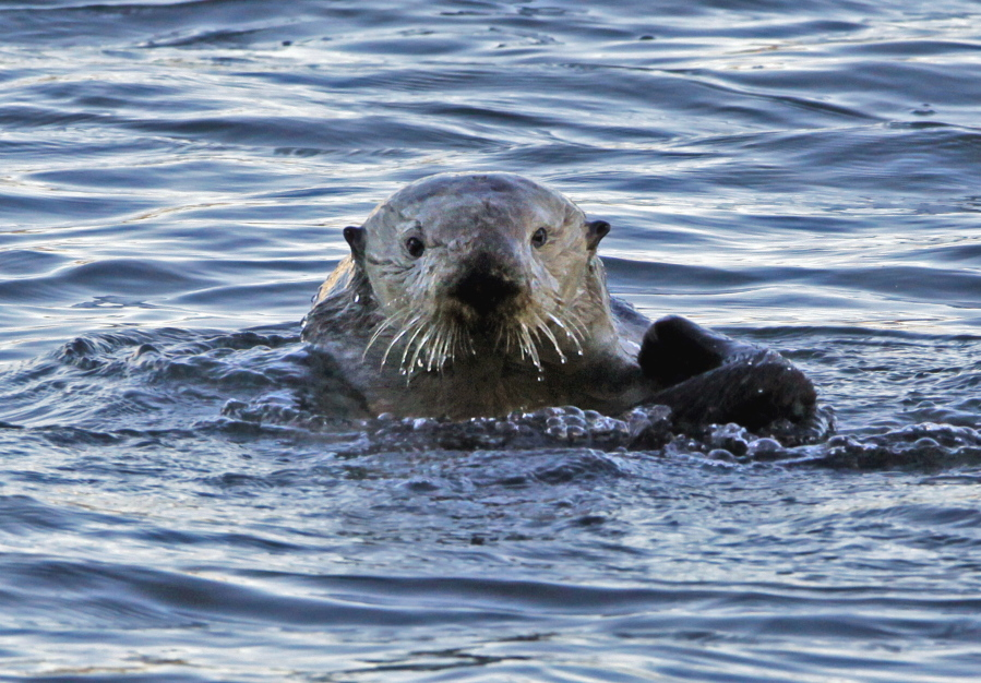 A sea otter in Morro Bay, Calif. It's been more than a century since sea otters were hunted to near extinction along the U.S. West Coast. The cute animals were successfully reintroduced along the Washington, British Columbia and California coasts, but an attempt to bring them back to Oregon in the early 1970s failed. Now a new nonprofit has formed to try again.