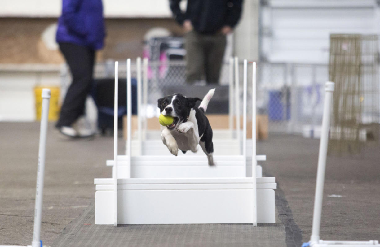 "Jade, a border collie, jumps with a ball at the flyball demonstration held Sunday at the Greater Clark County Kennel Club's performance weekend dog show at the Clark County Event Center at the Fairgrounds. Owners describe the sport as ""drag racing for dogs."" (Natalie Behring for The Columbian)"