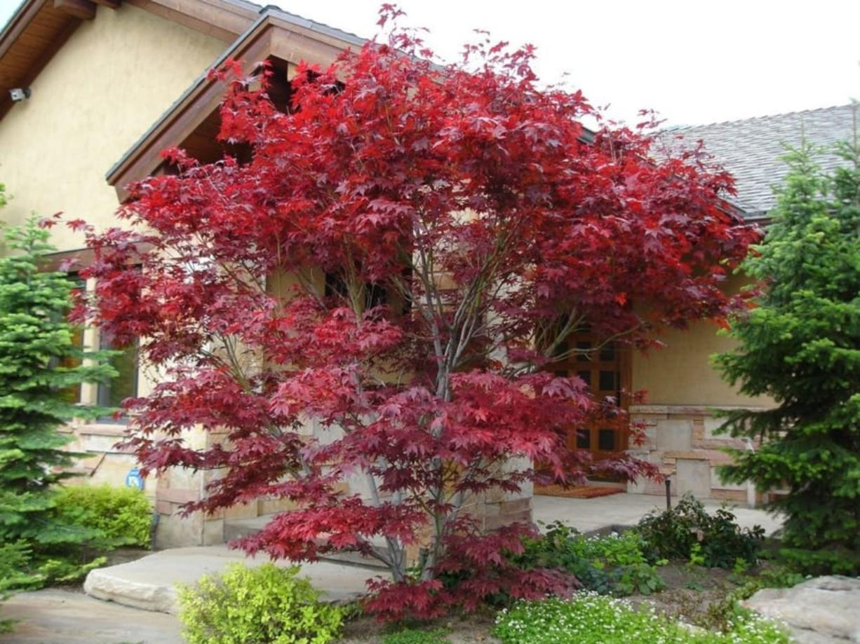 Gardening With Allen Japanese Maples Small Local Favorite