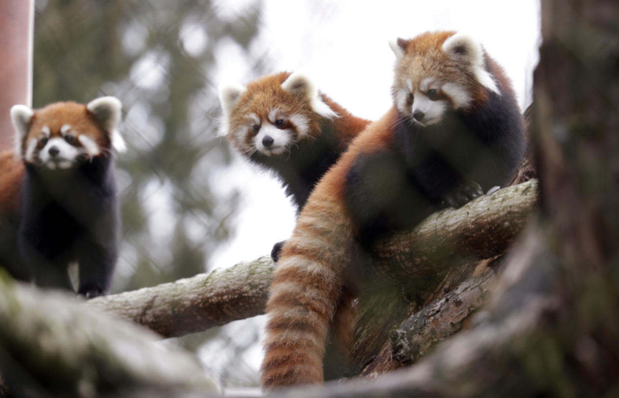 Twin red panda cubs Zeya, right, and her sister Ila, center, look out from a perch in their temporary enclosure with mom Hazel on Nov. 14 at the Woodland Park Zoo in Seattle.