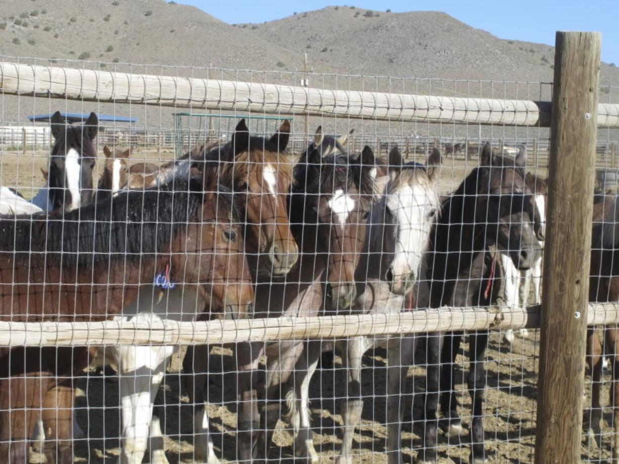 Mustangs are seen in June 2013 at the BLM's Palomino Valley holding facility about 20 miles north of Reno in Palomino Valley, Nev.