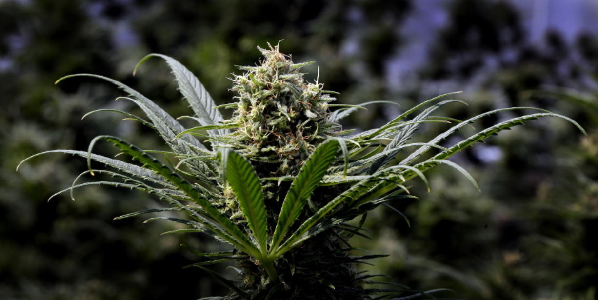 A marijuana plant is seen in May in Springfield, Ore.
