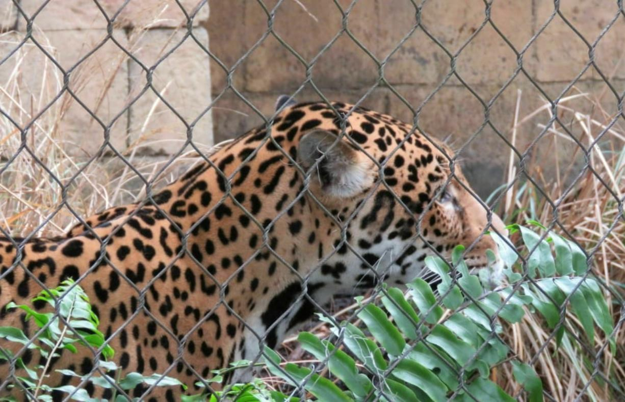 Valerio, a 3-year-old jaguar, explores his revamped and reinforced habitat at the Audubon Zoo in New Orleans on Tuesday, Feb. 5, 2019. Tuesday was the first time Valerio has been out in public view since July 15, when he escaped before zookeepers arrived. The adolescent jaguar killed nine animals before he was tranquilized and recaptured.