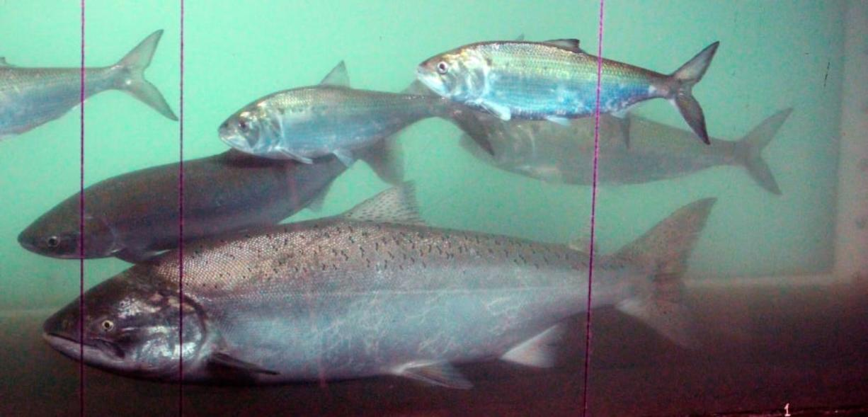 A sockeye salmon, left, swims pass a chinook salmon, center front, and shad, above, at the fish counting window on June 27, 2012, at the Bonneville Dam near Cascade Locks, Ore.
