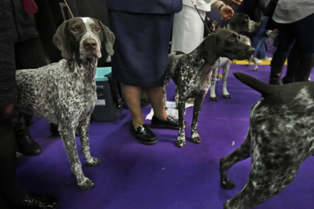 German shorthaired pointer climbs into top 10 of American