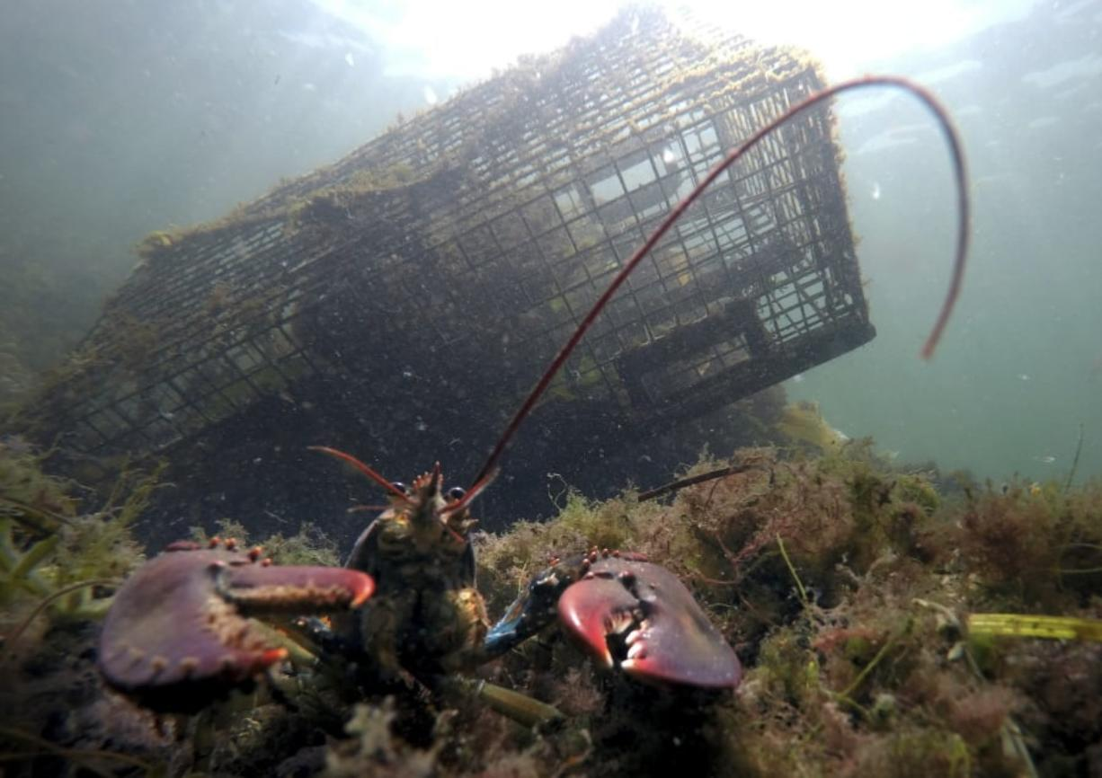 FILE-In this Sept. 3, 2018 file photo, a lobster walks on the ocean floor near a lobster trap off Biddeford, Maine. Maine officials say lobstermen brought more than 119 million pounds (54 million kilograms) of the state's signature seafood ashore in 2018, with the second-highest value on record. (AP Photo/Robert F.