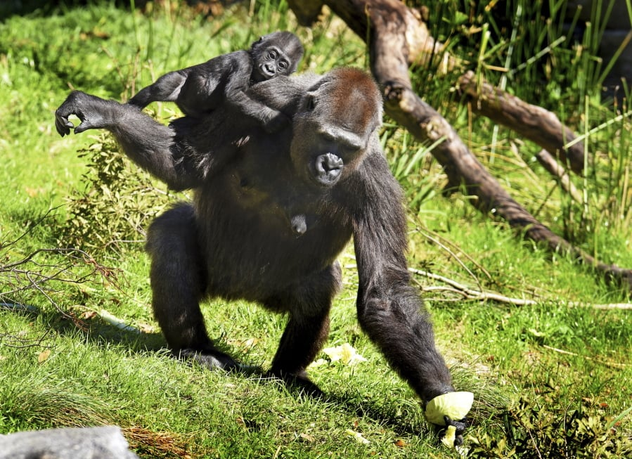 6ef724efea3e Surrogate bonds with baby gorilla rejected by mother