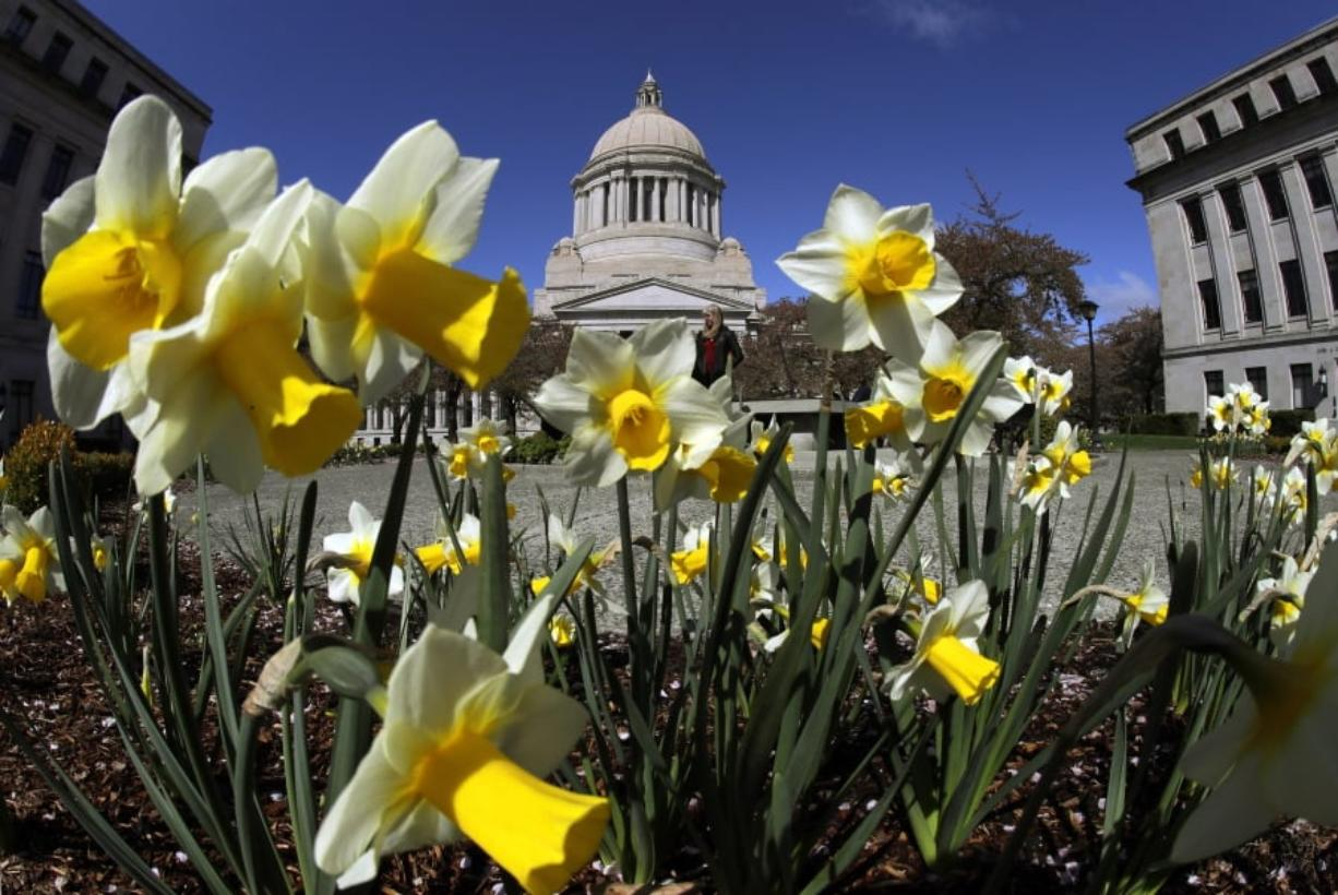 Daffodils bloom Tuesday at the Capitol in Olympia. (Ted S.