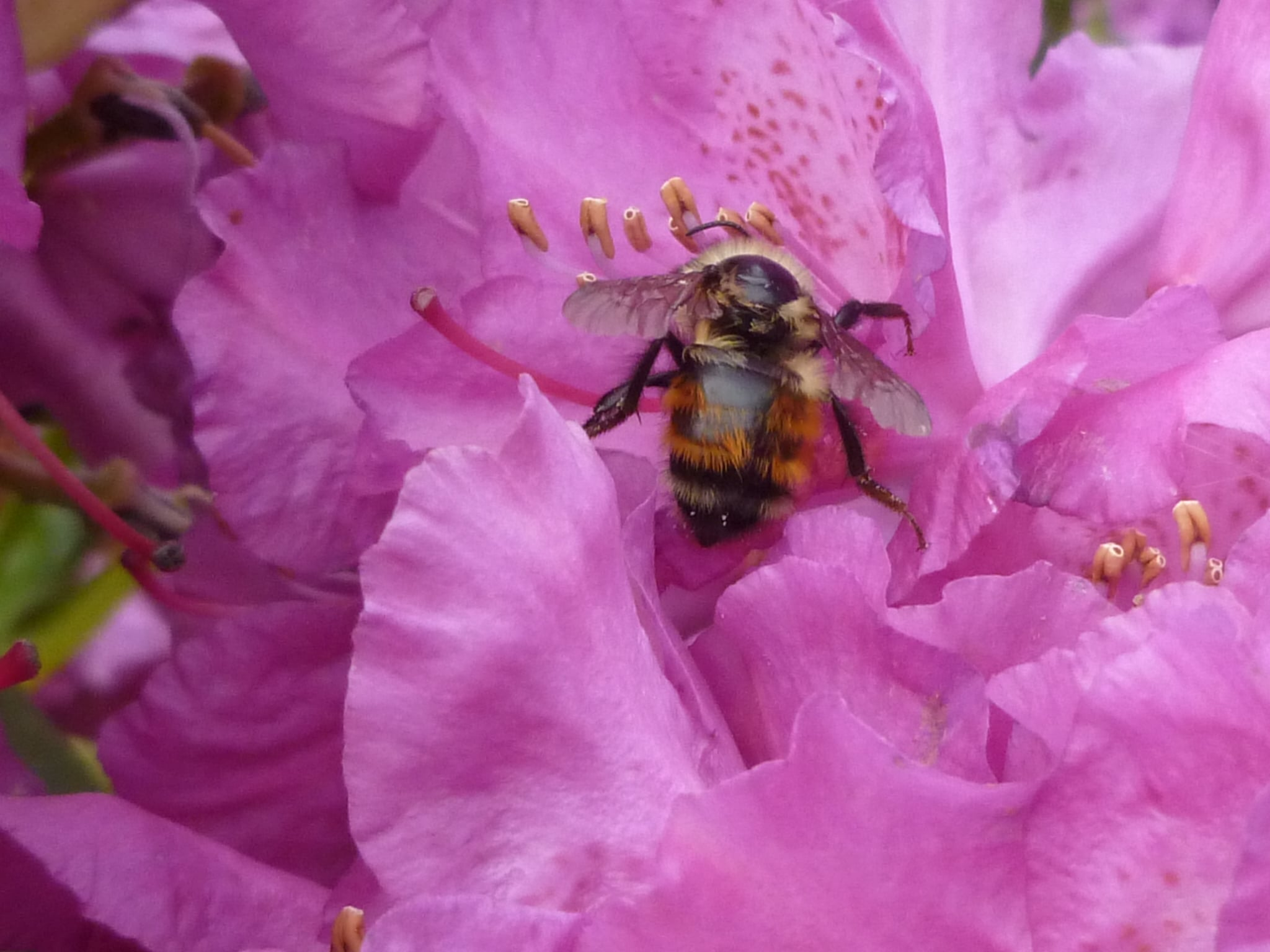 busy bee gardening among the backyard rhododendrons - May 2018. Larry Juday