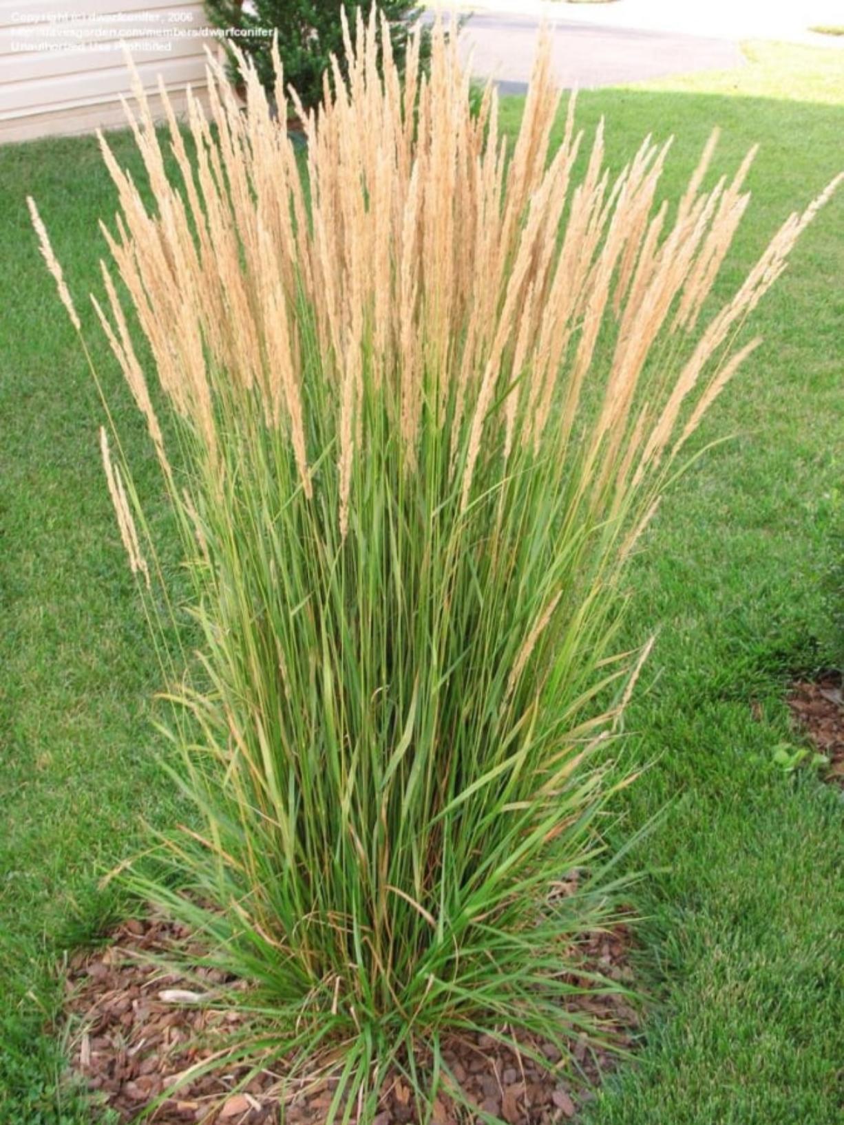 Gardening With Allen Ornamental Grasses Enhance Yard Columbian Com