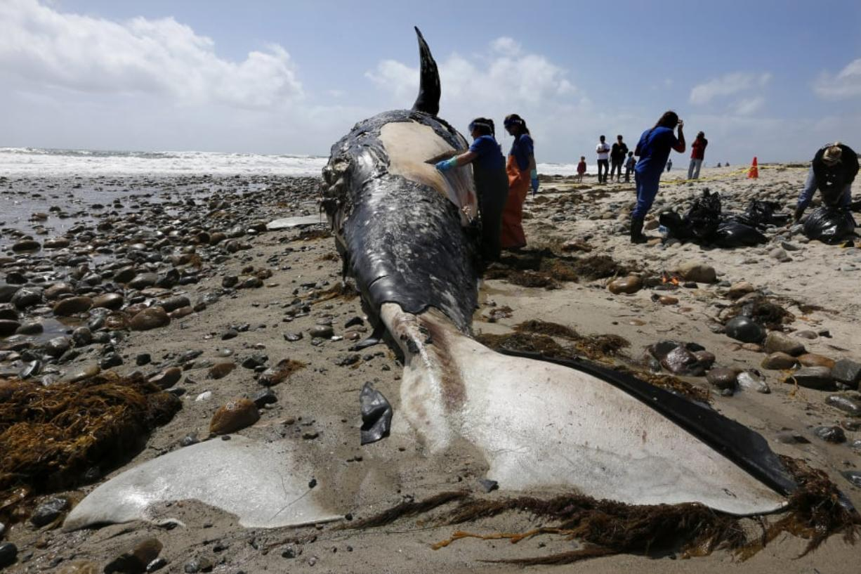 Biologists from the National Oceanic and Atmospheric Administration, Southwest Fisheries Service Center, take tissue and skin samples from a decomposing 43-foot gray whale on Lower Trestles beach in San Onofre State Park in 2016.