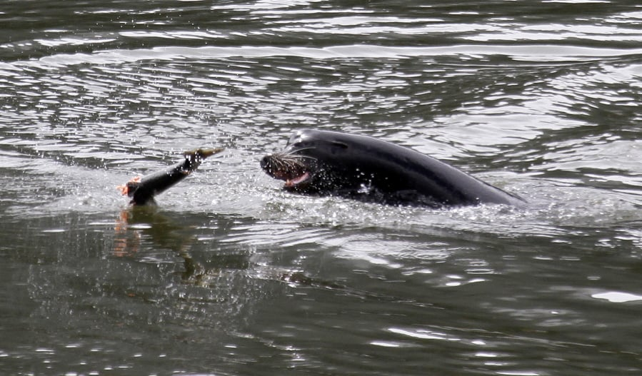 A sea lion tosses a partially eaten salmon in the Columbia River near Bonneville Dam on May 4, 2010, where six more sea lions were trapped earlier in the day with one to be euthanized, in North Bonneville.